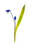 Gedrukt en droog geïsoleerd bloemklokje, royalty-vrije stock foto's