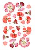 Gedrukt veelkleurig geranium vastgesteld perspectief Droge gevoelige isol royalty-vrije stock afbeeldingen