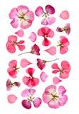Gedrukt veelkleurig geranium vastgesteld perspectief Droge gevoelige isol stock fotografie