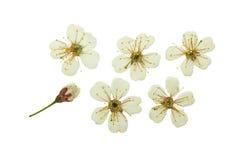 Gedrukte en droge bloem kers-boom Geïsoleerde royalty-vrije stock fotografie