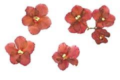 Gedrukte en Droge bloem Saintpaulia Geïsoleerd op witte backgrou Stock Fotografie