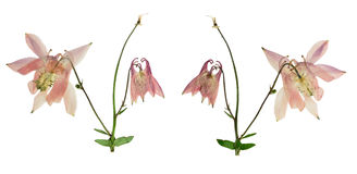Gedrukte en Droge bloem vulgaris Aquilegia Geïsoleerd op wit Stock Foto