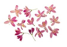 Gedrukte en droge geïsoleerde bloemen tataric kamperfoelie, Royalty-vrije Stock Afbeeldingen