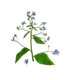 Gedrukte en droge geïsoleerde macrophylla van bloemenbrunnera, Stock Afbeelding