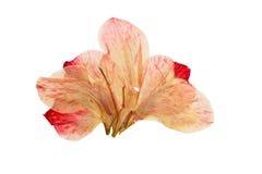 Gedrukte en droge heldere roze bloemgladiolen Royalty-vrije Stock Afbeelding