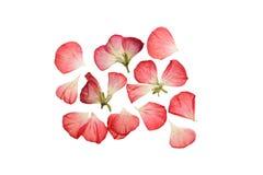 Gedrukte en droge roze bloemen en bloemblaadjes van geranium Royalty-vrije Stock Foto