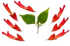 Gedrukte en droge wijze bloemsalvia, clary, geïsoleerd stock fotografie