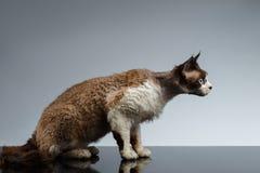 Geduckter Devon Rex in der Profilansicht über Grau Stockfotografie