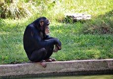 Geduckter Schimpanse Lizenzfreies Stockfoto
