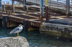 Geduldig und aufmerksam, auf eine Seemöwe für sein Mittagessen wartend Lizenzfreie Stockfotografie