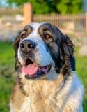 Geduldige brauner und weißer Hundesitzende Aufwartung Stockfoto