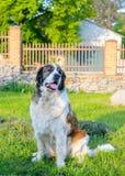 Geduldige brauner und weißer Hundesitzende Aufwartung Stockbild