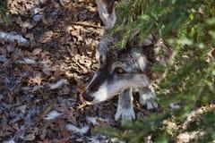 Geduldige Jonge Wolf royalty-vrije stock fotografie