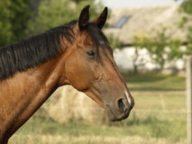 Geduldiges Pferd Lizenzfreie Stockfotos