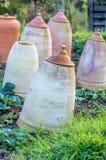 Gedwongen rabarber op een toewijzing Stock Afbeelding
