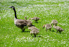 Geese  following mom Royalty Free Stock Images