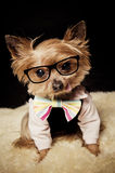 Geek Yorkshire Terrier dog. Little Yorkshire Terrier dog wearing shirt, bow tie and eyeglasses Stock Image