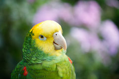 Geel Afgedekt Amazonië Stock Foto's