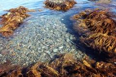 Geel algenzeewier, zeewater, mariene flora royalty-vrije stock foto