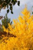 Geel Autumn Tree van mijn Stad stock afbeeldingen