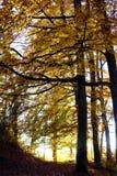Geel Autumn Trees Glowing in de Zonsondergang royalty-vrije stock foto
