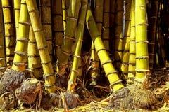 Geel Bamboe royalty-vrije stock afbeelding