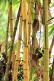 Geel bamboe stock foto