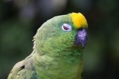 Geel-bekroond Amazonië Stock Afbeeldingen