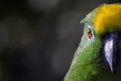 Geel-bekroond Amazonië Stock Fotografie