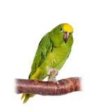 Geel-bekroond Amazonië isoleerde op wit stock foto's