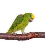 Geel-bekroond Amazonië isoleerde op wit stock fotografie