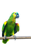 Geel-BEKROOND die AMAZONIË op handpapegaai op witte achtergrond wordt geïsoleerd stock afbeeldingen