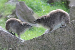 Geel-bevlekte rots hyrax Royalty-vrije Stock Fotografie
