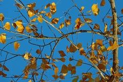 Geel blad bij blauwe hemel Stock Fotografie