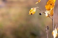 Geel blad met zwarte bes royalty-vrije stock fotografie