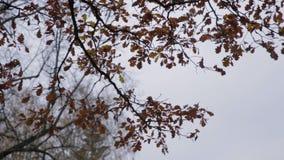 Geel bladerengeruis Zon en gele bladeren Heldere gele de herfstbladeren van de esdoorn op de achtergrond van de hemel stock video