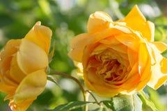 Geel bloeien nam in de tuin op een zonnige dag toe David Austin Rose Golden Celebration royalty-vrije stock fotografie