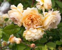 Geel bloeien nam in de tuin op een zonnige dag toe David Austin Rose Golden Celebration royalty-vrije stock afbeeldingen