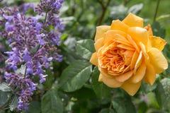 Geel bloeien nam in de tuin op een zonnige dag toe David Austin Rose Golden Celebration & x27; AUShunter& x27; royalty-vrije stock afbeelding