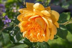 Geel bloeien nam in de tuin op een zonnige dag toe David Austin Rose Golden Celebration ` AUShunter ` Stock Foto's