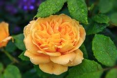 Geel bloeien nam in de tuin op een zonnige dag toe David Austin Rose Golden Celebration ` AUShunter ` Stock Foto