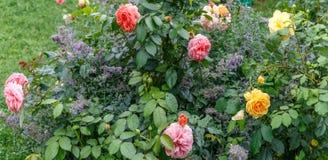 Geel bloeien nam in de tuin op een zonnige dag toe Rose Golden Celebration Stock Foto's