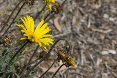 Geel Bloeiend Arctotis-Bloemhoofd in Tuin Royalty-vrije Stock Foto's