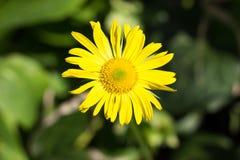 Geel bloemclose-up op een groene achtergrond royalty-vrije stock afbeeldingen