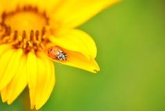 Geel bloemdetail met lieveheersbeestje stock afbeeldingen