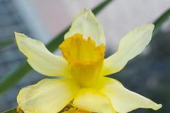 Geel bloemendetail Royalty-vrije Stock Fotografie