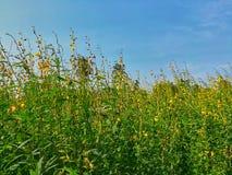 Geel bloemengebied, het gebied van de zonhennep, tegen mooie duidelijke blauwe hemel royalty-vrije stock foto's