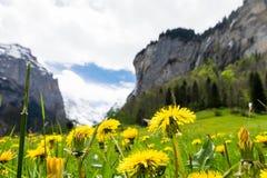 Geel bloemengebied met sneeuwbergen als achtergrond in Lauterbrunnen Stock Foto's