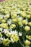 Geel bloemgebied in Pasen Stock Fotografie