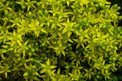 Geel bloemmos Stock Afbeelding